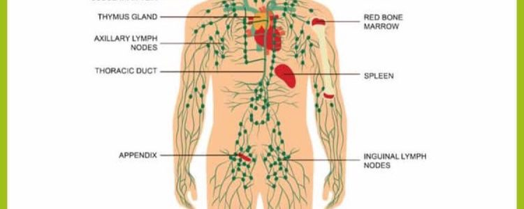 Lymphatic System and Physiology